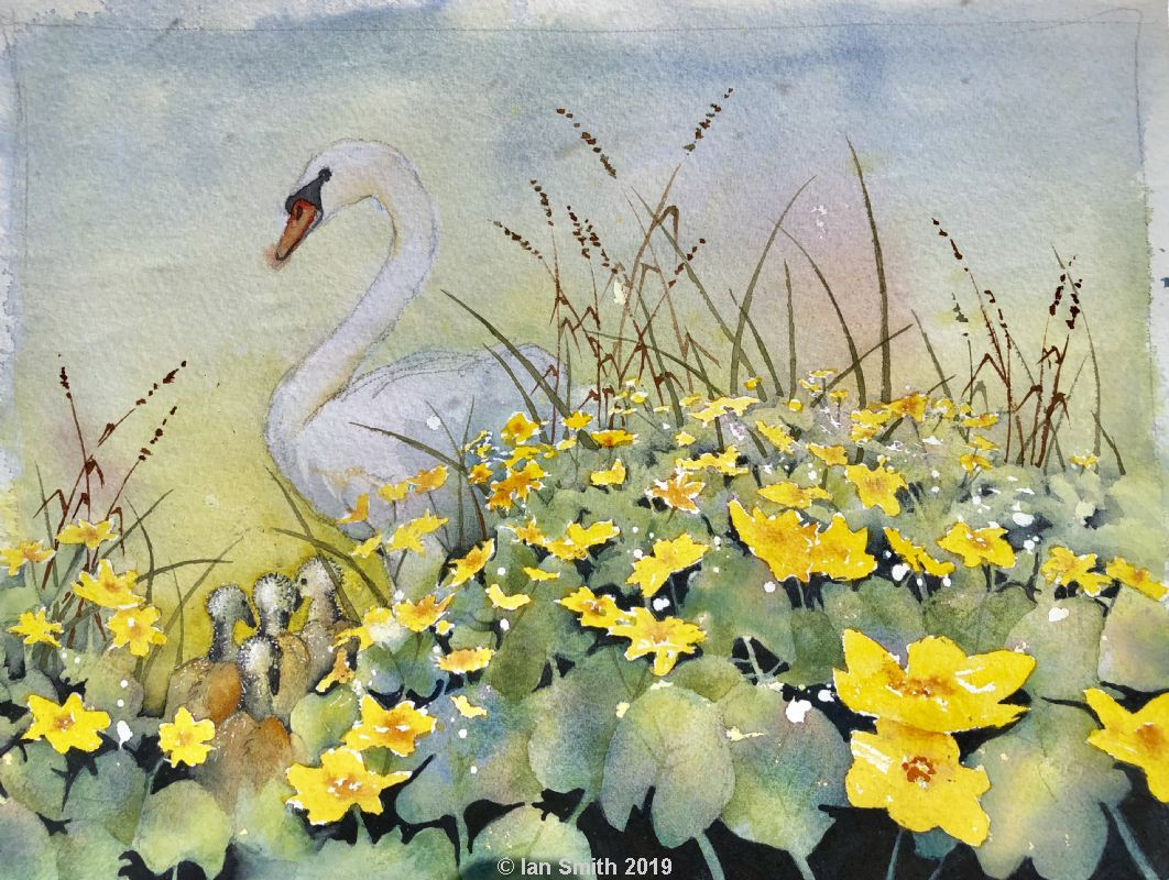 Swan cygnets and marsh marigolds